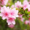 写真: 柔らかなピンク
