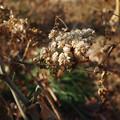写真: 紫陽花の種?