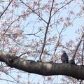 写真: 鳩と桜