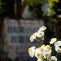写真: 街角に咲く