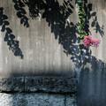Photos: 影と花