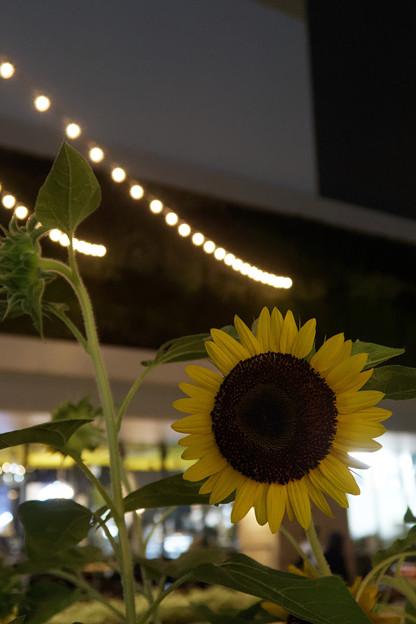 夜の向日葵