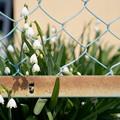 フェンスに咲く