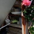 階段の薔薇