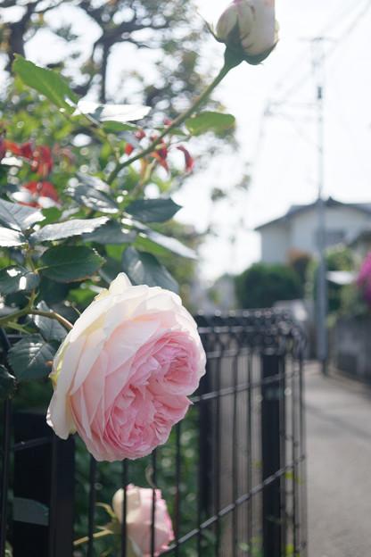 Photos: 曲がり角の薔薇