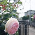 曲がり角の薔薇