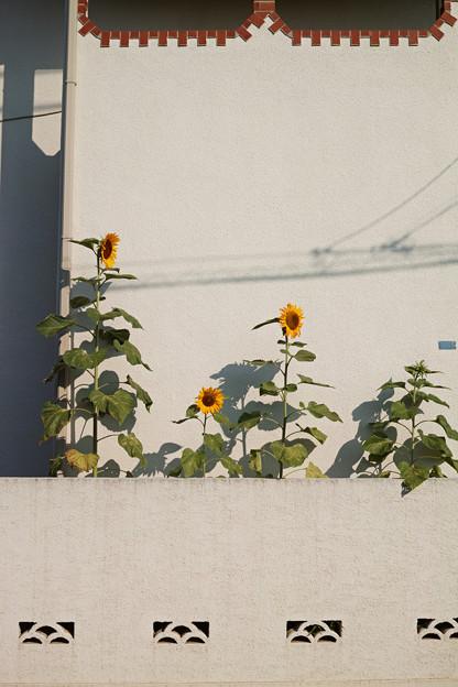 アパートの向日葵