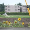 Photos: 小さな向日葵