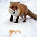 写真: 狐狸