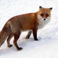 写真: 狐狸1