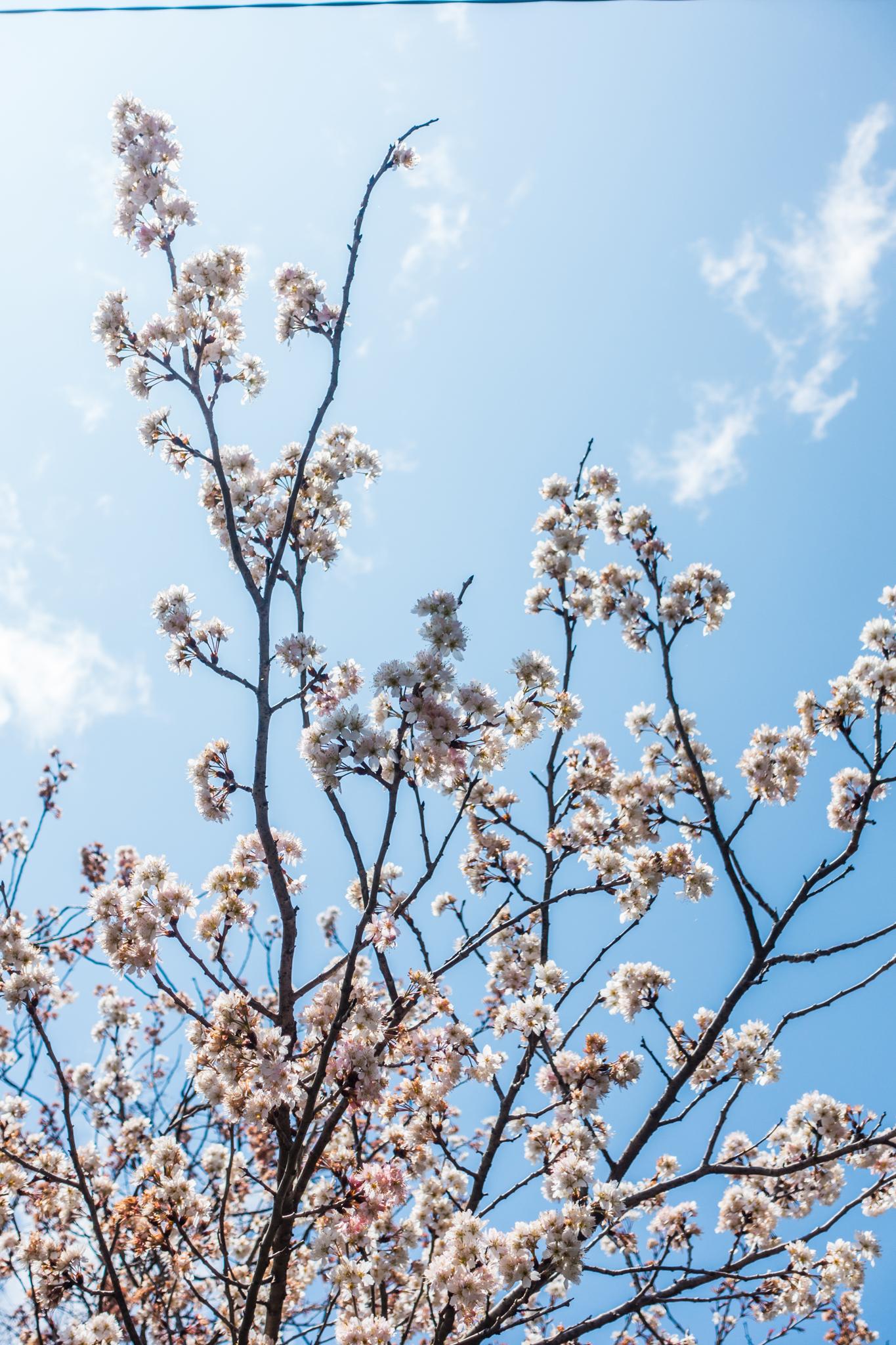 江里山の八重桜