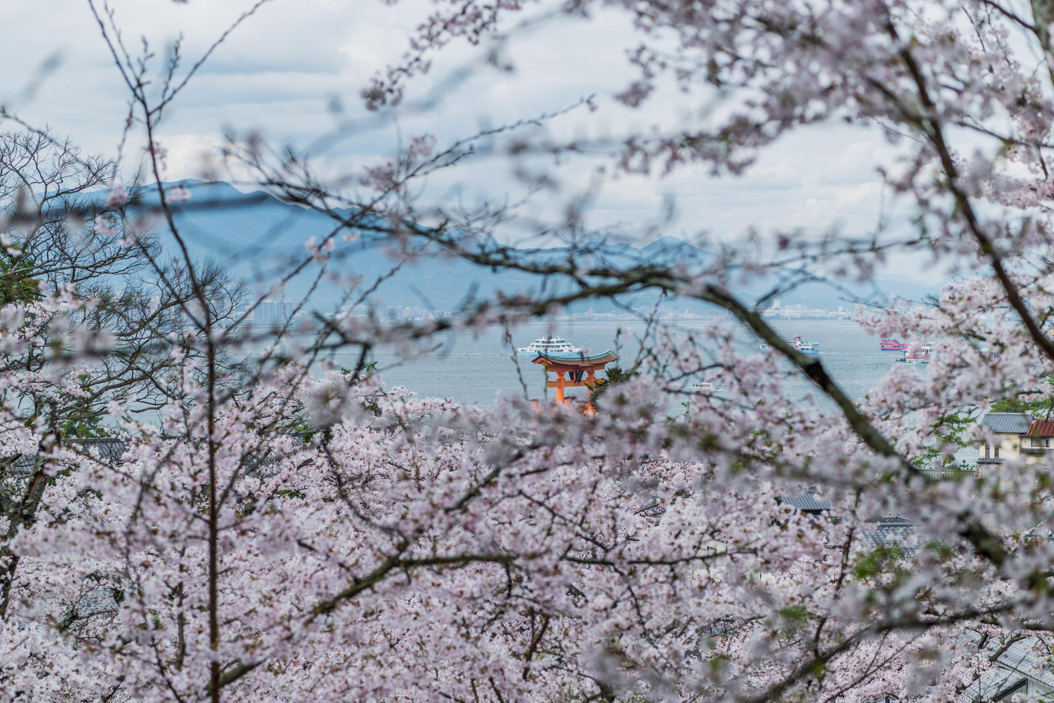 桜の間から大鳥居