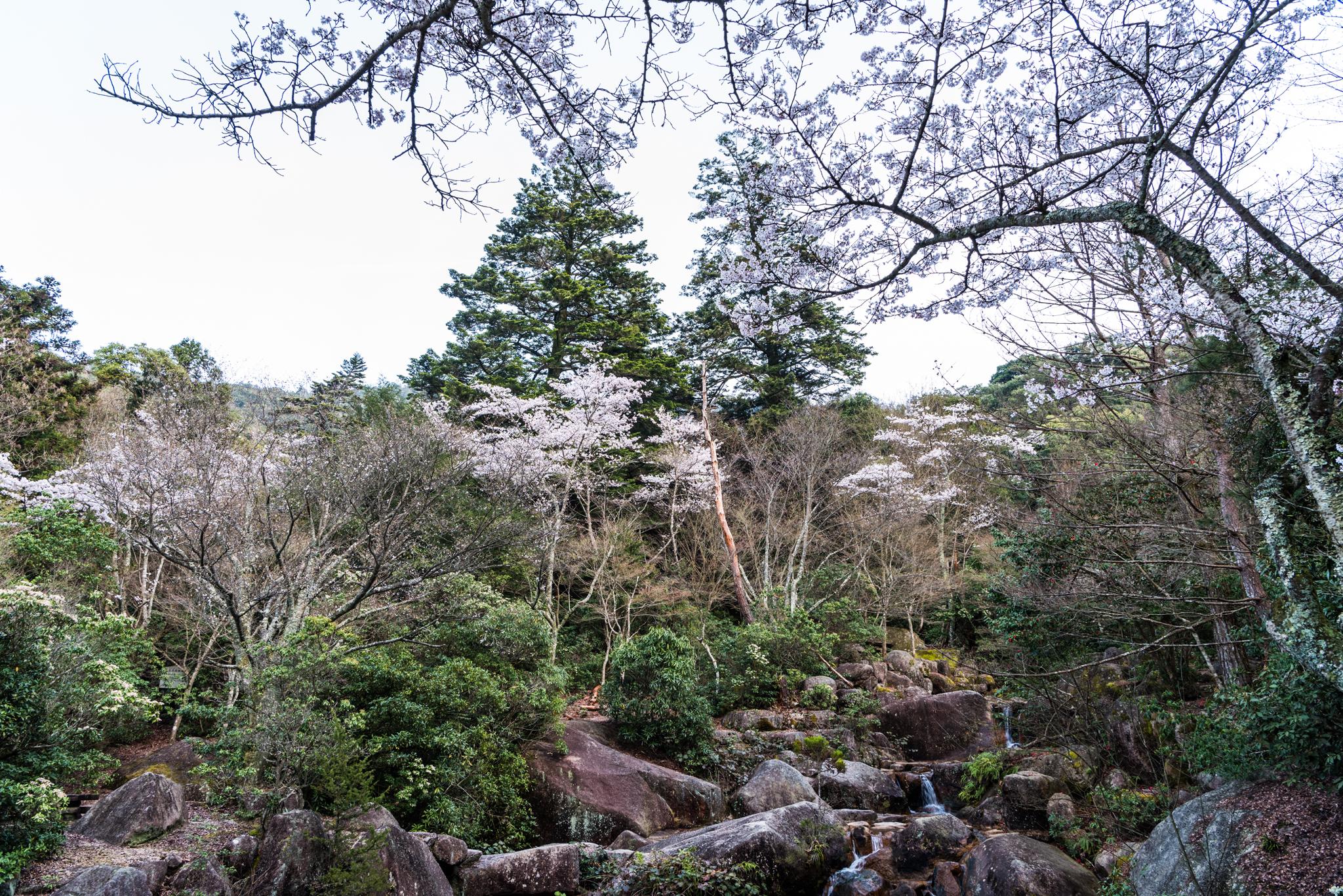 紅葉谷の桜