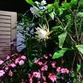 Photos: 月下美人の開花