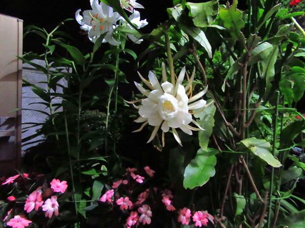 月下美人の開花