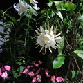写真: 月下美人の開花