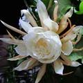 写真: 月下美人3輪目の開花