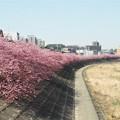 写真: 河津桜(葵桜)