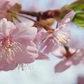 河津桜(葵桜)