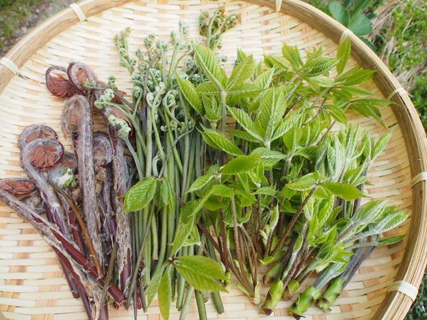 ゼンマイ&ワラビ&トウダイの芽