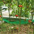 写真: フルーツトマト