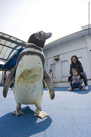ペンギンのおさんぽタイム