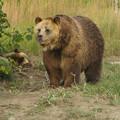 写真: ヨーロッパヒグマ