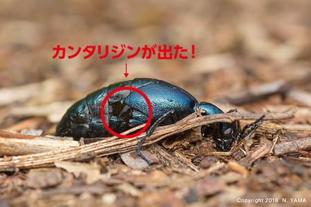 オオツチハンミョウ