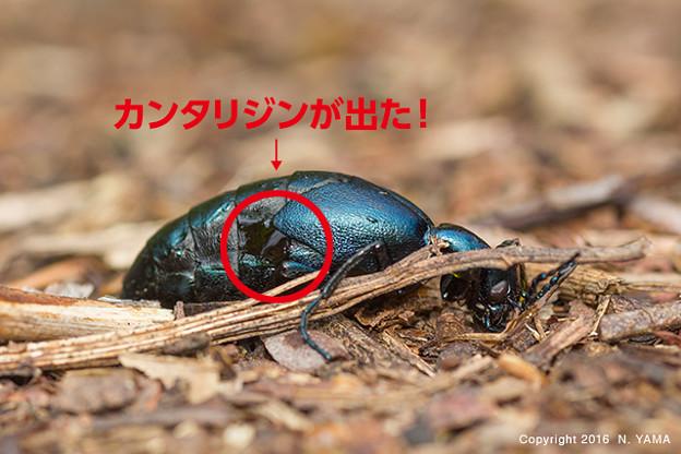 ハンミョウ ツチ