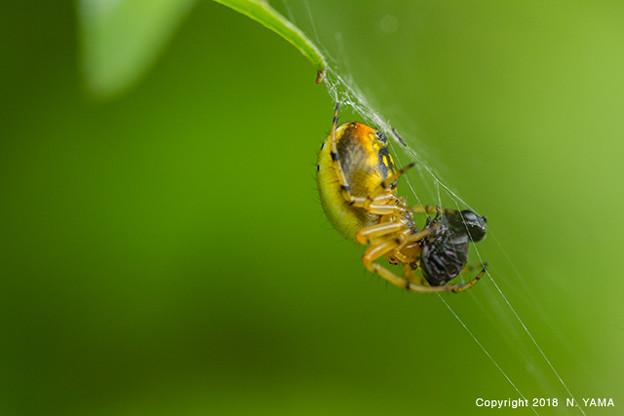 ムツボシオニグモ