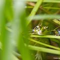 写真: ルリイトトンボを捕食するトノサマガエル