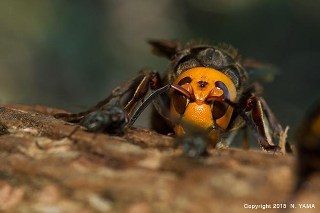 写真: オオスズメバチ