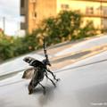 Photos: ゴマダラカミキリ