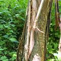 Photos: サワグルミで見られたクマの皮剥ぎ