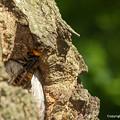 Photos: オオスズメバチ