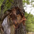 写真: クワガタムシ乱獲者による樹皮捲り