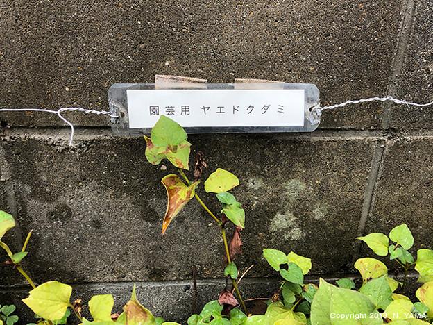 Photos: ヤエドクダミ