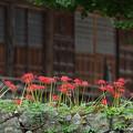 Photos: ヒガンバナ