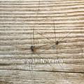 写真: ザトウムシの一種