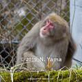 Photos: ニホンザル
