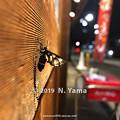Photos: カノコガ