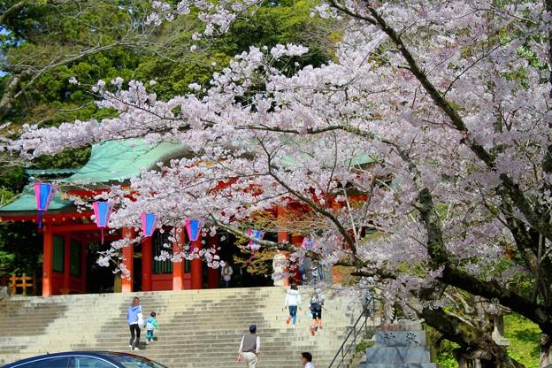 綺麗に咲いた香取神宮の桜