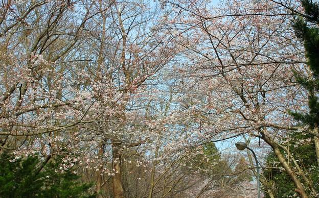 2.綺麗に咲いた小見川城山公園桜-B