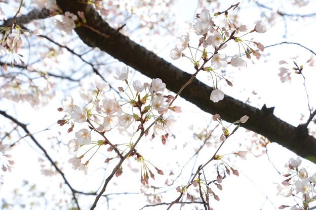 桜前線到来