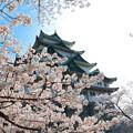 春の名古屋城2