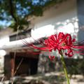 写真: 城郭に咲く紅い花