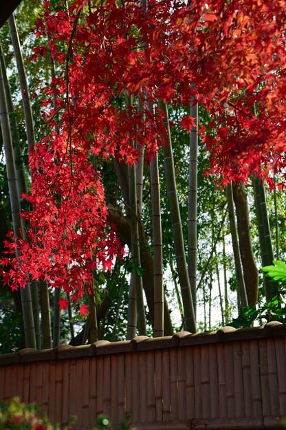 竹やぶ近くの椛