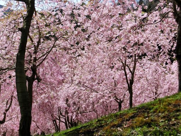 空を覆う桜