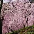 Photos: 空を覆う桜