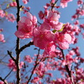 写真: 淀水路の河津桜